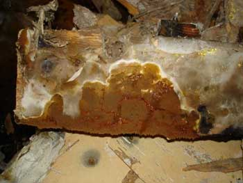 Dry Rot mushroom or 'fruiting body'