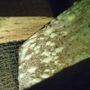 Mould growing on a rafter